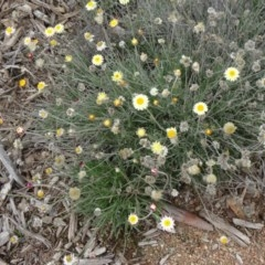 Leucochrysum albicans subsp. tricolor (Hoary Sunray) at Sth Tablelands Ecosystem Park - 30 Apr 2015 by galah681
