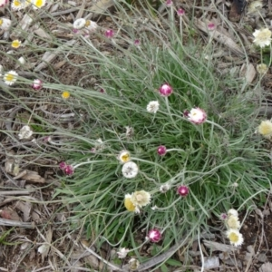 Leucochrysum albicans subsp. tricolor at Sth Tablelands Ecosystem Park - 30 Apr 2015
