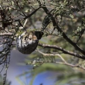 Acanthiza pusilla at Acton, ACT - 29 Aug 2018