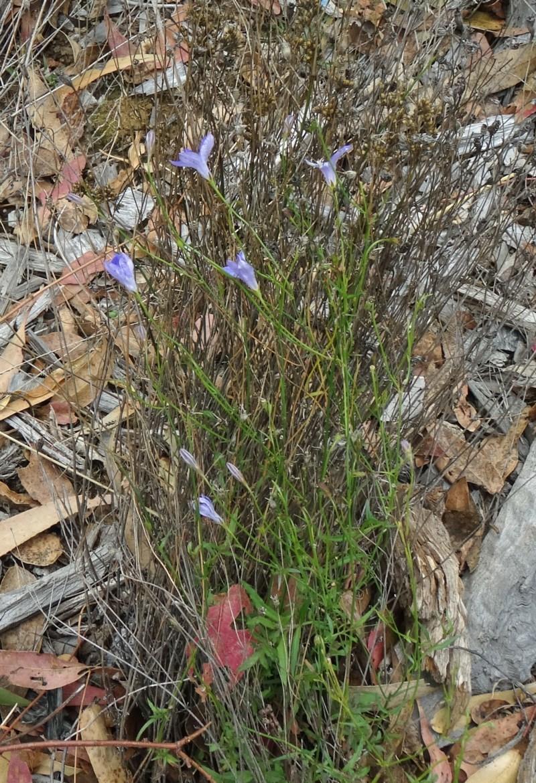 Wahlenbergia stricta subsp. stricta at Sth Tablelands Ecosystem Park - 30 Apr 2015
