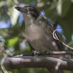 Cracticus torquatus (Grey Butcherbird) at ANBG - 29 Aug 2018 by Alison Milton