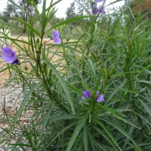 Solanum linearifolium at Sth Tablelands Ecosystem Park - 30 Apr 2015