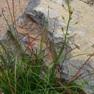 Bulbine glauca at Sth Tablelands Ecosystem Park - 30 Apr 2015