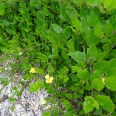 Goodenia ovata (Hop Goodenia) at Sth Tablelands Ecosystem Park - 30 Apr 2015 by galah681
