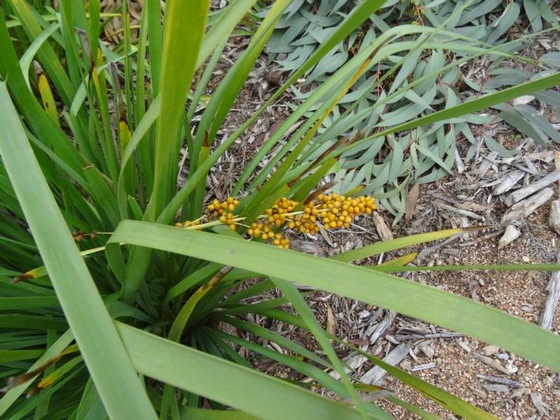 Lomandra longifolia at Sth Tablelands Ecosystem Park - 30 Apr 2015