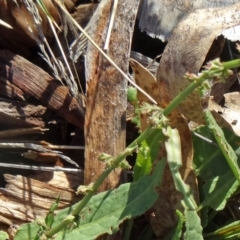 Rumex brownii at Sth Tablelands Ecosystem Park - 7 May 2015