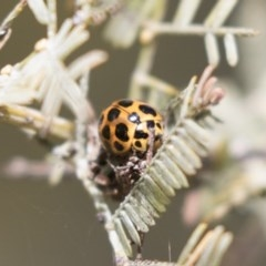 Harmonia conformis (Common Spotted Ladybird) at Gossan Hill - 4 Sep 2018 by Alison Milton