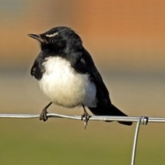 Rhipidura leucophrys (Willie Wagtail) at Jerrabomberra Wetlands - 16 Sep 2018 by RodDeb