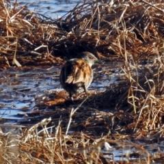 Zapornia pusilla at Jerrabomberra Wetlands - 16 Sep 2018