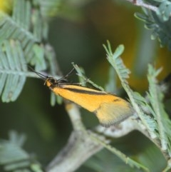 Philobota undescribed species near arabella (A concealer moth) at Gossan Hill - 13 Sep 2018 by Harrisi