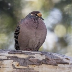 Phaps chalcoptera (Common Bronzewing) at ANBG - 16 Sep 2018 by Alison Milton