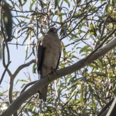 Accipiter cirrocephalus (Collared Sparrowhawk) at ANBG - 16 Sep 2018 by Alison Milton