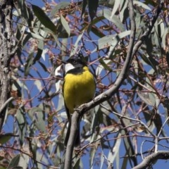 Pachycephala pectoralis (Golden Whistler) at ANBG - 17 Sep 2018 by Alison Milton