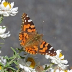 Vanessa kershawi (Australian Painted Lady) at ANBG - 17 Sep 2018 by RodDeb
