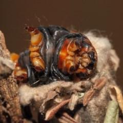 Metura elongatus (Saunders' case moth) at Evatt, ACT - 15 Sep 2018 by Tim L