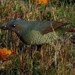 Ptilonorhynchus violaceus (Satin Bowerbird) at Brogo, NSW - 16 Sep 2018 by MaxCampbell