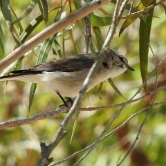 Microeca fascinans (Jacky Winter) at Brogo, NSW - 2 Sep 2018 by MaxCampbell