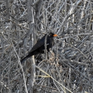 Turdus merula at Jerrabomberra Wetlands - 17 Sep 2018