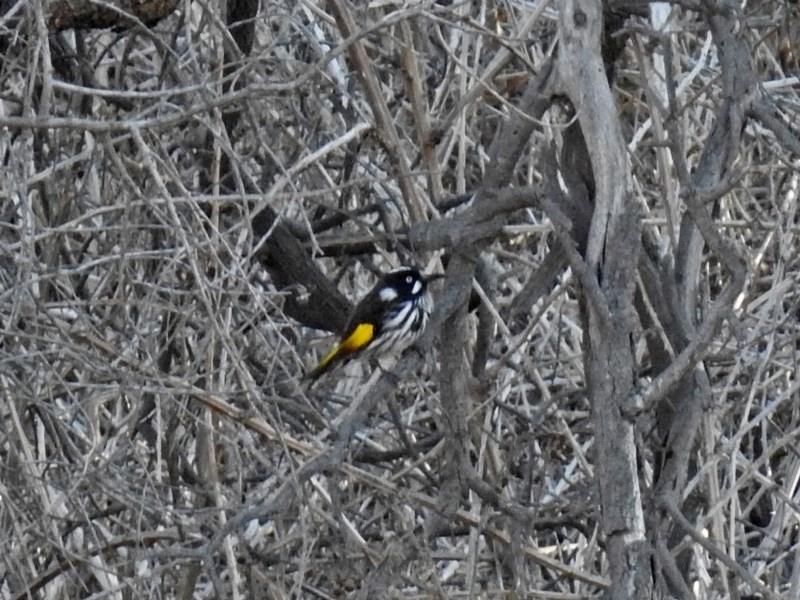 Phylidonyris novaehollandiae at Jerrabomberra Wetlands - 17 Sep 2018