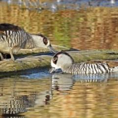 Malacorhynchus membranaceus (Pink-eared Duck) at Jerrabomberra Wetlands - 17 Sep 2018 by RodDeb
