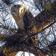 Tyto alba (Barn Owl) at Jerrabomberra Wetlands - 17 Sep 2018 by RodDeb