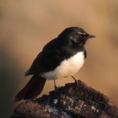 Rhipidura leucophrys (Willie Wagtail) at Molonglo River Park - 11 Sep 2018 by michaelb