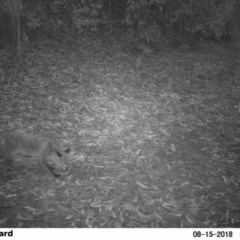 Vulpes vulpes (Red Fox) at EDM Private Property - 14 Aug 2018 by Margot