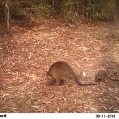 Wallabia bicolor (Swamp Wallaby) at EDM Private Property - 11 Aug 2018 by Margot