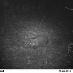 Vombatus ursinus (Bare-nosed Wombat) at EDM Private Property - 9 Aug 2018 by Margot