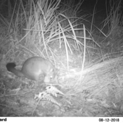 Trichosurus vulpecula (Common Brushtail Possum) at Undefined - 12 Aug 2018 by Margot