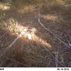 Ptilonorhynchus violaceus (Satin Bowerbird) at Undefined - 16 Aug 2018 by Margot