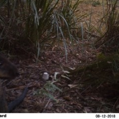 Wallabia bicolor (Swamp Wallaby) at Undefined - 12 Aug 2018 by Margot
