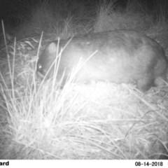 Vombatus ursinus (Bare-nosed Wombat) at Undefined - 13 Aug 2018 by Margot
