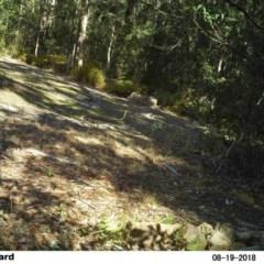 Ptilonorhynchus violaceus (Satin Bowerbird) at Little Forest, NSW - 19 Aug 2018 by Margot