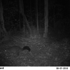 Trichosurus vulpecula (Common Brushtail Possum) at Undefined - 7 Aug 2018 by Margot