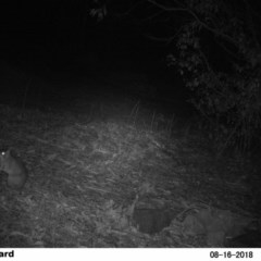 Perameles nasuta (Long-nosed Bandicoot) at Undefined - 16 Aug 2018 by Margot