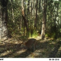 Macropus rufogriseus (Red-necked Wallaby) at Undefined - 9 Aug 2018 by Margot