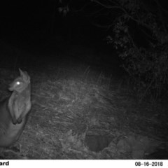 Wallabia bicolor (Swamp Wallaby) at Undefined - 16 Aug 2018 by Margot