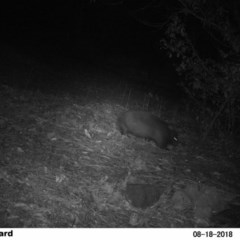 Vombatus ursinus (Bare-nosed Wombat) at Undefined - 18 Aug 2018 by Margot