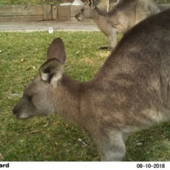 Macropus giganteus (Eastern Grey Kangaroo) at The Basin Walking Track - 10 Aug 2018 by Margot