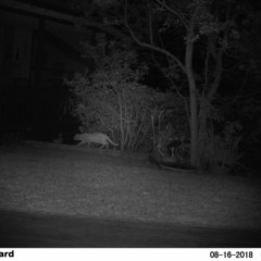 Felis catus (Feral Cat) at The Basin Walking Track - 14 Aug 2018 by Margot