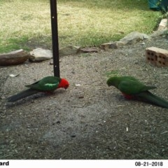 Alisterus scapularis (Australian King-parrot) at Undefined - 21 Aug 2018 by Margot
