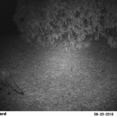 Vulpes vulpes (Red Fox) at Undefined - 19 Aug 2018 by Margot