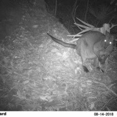 Wallabia bicolor (Swamp Wallaby) at Undefined - 13 Aug 2018 by Margot