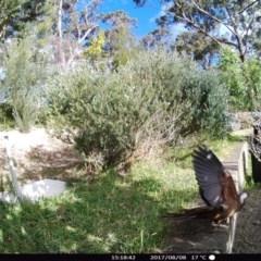 Macropygia (Macropygia) amboinensis (Brown Cuckoo-dove) at Rivendell Mimosa Park Road - 8 Aug 2017 by Margot