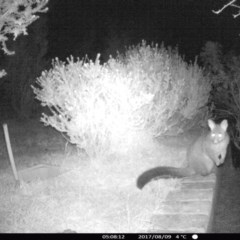 Trichosurus vulpecula (Common Brushtail Possum) at Rivendell Mimosa Park Road - 8 Aug 2017 by Margot
