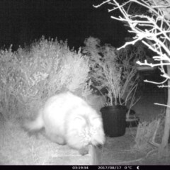 Felis catus (Feral Cat) at Rivendell Mimosa Park Road - 16 Aug 2017 by Margot