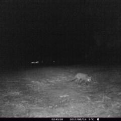 Vulpes vulpes (Red Fox) at Rivendell Mimosa Park Road - 15 Aug 2017 by Margot