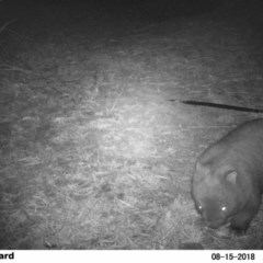 Vombatus ursinus (Bare-nosed Wombat) at Rivendell Mimosa Park Road - 15 Aug 2018 by Margot