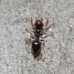 Crematogaster sp. (genus) at ANBG - 19 Sep 2018